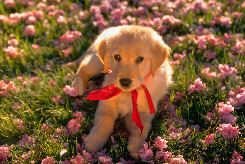 Portrait of a golden retriever puppy lying in the grass amidst blossoms.
