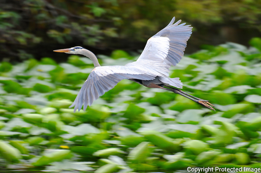 Great Blue Heron taking flight over wetlands. Photographed at Wakodahatchee Wetlands, Delray Beach, Florida.