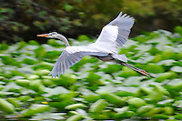 Great Blue Heron taking flight over wetlands. Photographed at Wakodahatchee Wetlands, Delray Beach, Florida.
