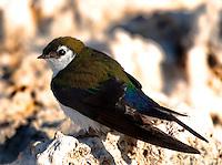 Violet-green swallow (Tachycineta thalassina) [Wild], on tufa at Mono Lake, Eastern Sierra area of California, United States of America