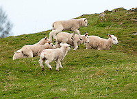 Leaping lambs, Northumberland.