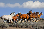 Quarter Horse mares and foals running across a ridge, Wyoming, Bighorn Mountains.
