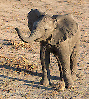 Baby elephants are often quite curious.  This one ambled right up to our vehicle.