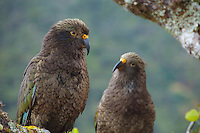 Two Kaka birds sitting on a branch in Fiordland National Park, South Island, New Zealand