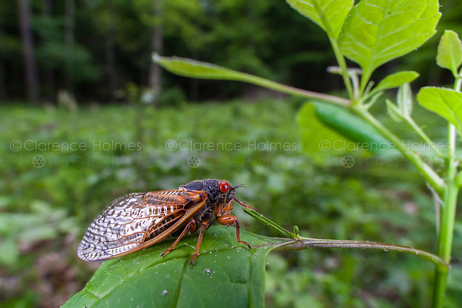 A view of an adult Brood V 17-year periodical cicada (Magicicada cassinii) shortly after emerging from its nymphal stage.