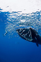 Bryde's whale, Balaenoptera edeni, feeding on a baitball of sardines, pilchards, or Californian pilchards, Sardinops sagax caeruleus, Golden Gate Bank, Cabo San Lucas, Baja California, Mexico, Pacific Ocean, MR (2 of 4)
