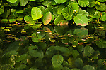 Leaves reflected in wetland, Diyasaru Park, Colombo, Sri Lanka