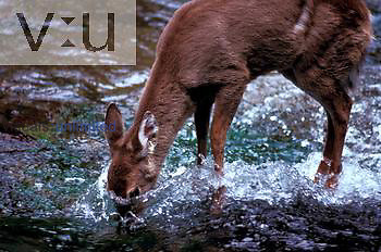 White-Tailed Deer eating moss from stream bottom. ,Odocoileus virginianus, Great Smoky Mountains National Park