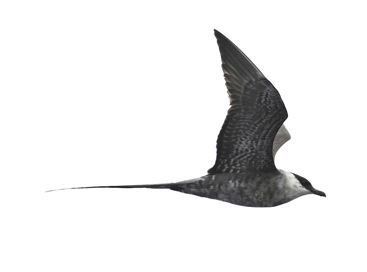 Long-tailed Skua Stercorarius longicaudus. (L 36-42cm) recalls an Arctic Skua but is slimmer with much longer tail streamers in adult; long, pointed wings lack Arctic's white patch. Adult has mainly grey-brown upperparts, dark cap and whitish neck and underparts; note faint yellow flush on cheeks. Juvenile is variably barred grey-brown, palest on nape and chest. Look for it during storms on Outer Hebrides in spring, Cornish coasts in autumn.