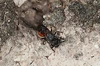 Große Blutbiene, Sphecodes cf. albilabris, Sphecodes cf. fuscipennis, Sweat bee, Halictid Bee, Blutbienen, Schmalbienen, Kuckucksbiene, Furchenbienen, Halictidae, Sweat bees, Halictid Bees,