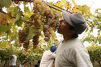 San Giuseppe iato, Settembre 2005. La vendemmia della cooperativa Placido Rizzotto.