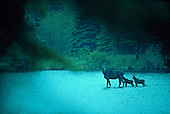 Cow moose with two calves, Alces alces, at Isle Royale National Park.
