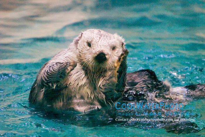 California sea otter, Enhydra lutris nereis, California, North East Pacific Ocean (c)