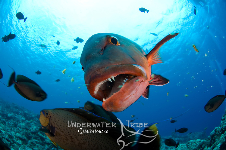 Red snapper portrait, Lutjanus bohar, Yap, Federated States of Micronesia, Pacific Ocean