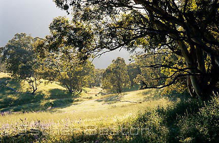 Typical Grassy White Box Woodlands when recovering from grazing. Nanangroe near Gundagai, NSW