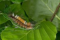 Schwarzes L, Raupe frisst an Buch, Arctornis l-nigrum, Arctornis pusillata, Phalaena l-nigrum, Black V Moth, caterpillar, Le L noir, Trägspinner, Lymantriidae, Schadspinner, Wollspinner, Lymantriinae