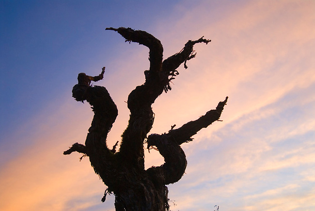 50 year old petit sirah vine in St. Helena vineyard