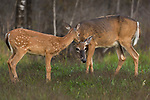 White-tailed doe and her fawn in autumn.
