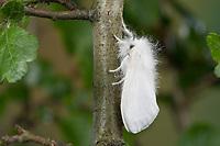Goldafter, Dunkler Goldafter, Euproctis chrysorrhoea, brown-tail, browntail moth, le Cul brun, Lymantriinae, Trägspinner, Schadspinner
