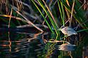 Botswana, Moremi Game Reserve, Okavango Delta, Greenbacked heron (Butorides striatus) on papyrus branch