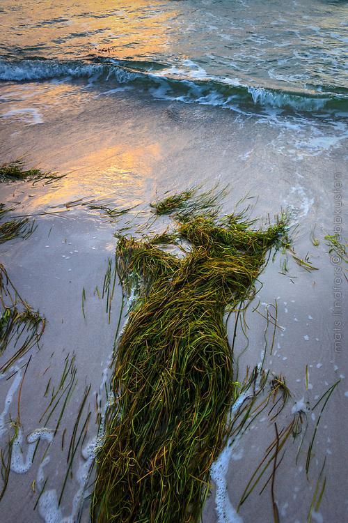Havsstrand med uppspolad tång vid Skanör i Skåne