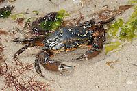 Strandkrabbe, Strand-Krabbe, Dwarslöper, Krabbe, Krebs, Gemeine Strandkrabbe, Carcinus maenas, shore crab, shore-crab, harbour crab, shorecrab, European green crab, European shore crab, green crab, crab