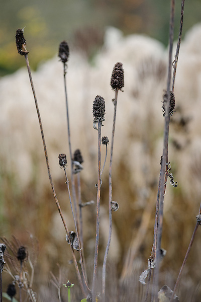 Rudbeckia maxima
