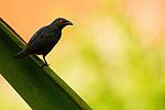 Asian Glossy Starling (Aplonis panayensis), Tawau Hills Park, Sabah, Borneo, Malaysia