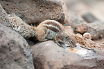 Barbary ground squirrel, Atlantoxerus getulus, drinking water on stone wall, Fuerteventura, Canary Islands, Spain. Introduced from North Africa