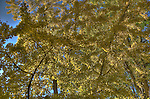 Yellow Leaves, Central Park, November 12, 2011, HDR