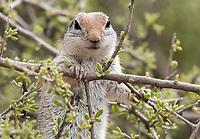 Round-tailed Ground Squirrel, Xerospermophilus tereticaudus, at the Desert Botanical Garden, Phoenix, Arizona