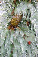 Pine tree and cone in freezing rain. Near Alpine, Oregon