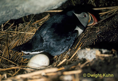 MC38-003b  Atlantic Puffin - sitting on nest incubating eggs under rocks at Machias Seal Island, Bay of Fundy - Fratercula arctica