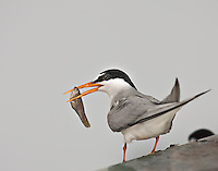 Least Tern with a fish in it's mouth perched on ledge on a cloudy day