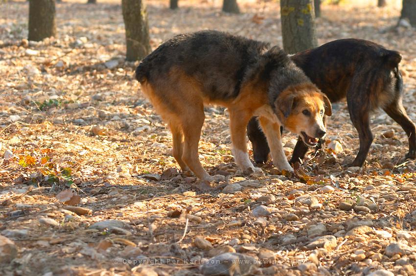 Two truffle dogs at La Truffe de Ventoux truffle farm, Vaucluse, Rhone, Provence, France