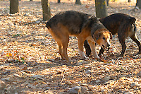 Two truffle dogs at La Truffe de Ventoux truffle farm, Vaucluse, Rhone, Provence, France
