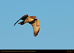 Juvenile Southwestern Red-Tailed Hawk, Sunset Flight, Sepulveda Wildlife Refuge, Southern California
