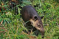 Central American Tapir or Baird's Tapir (Tapirus bairdii) Belize.
