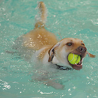 NWA Democrat-Gazette/ANDY SHUPE<br /> Tucker, a 1-year-old Labrador retriever owned by McKenna Bagley of Bentonville, swims Saturday, Aug. 22, 2015, while holding a tennis ball in his mouth while playing in the children's pool during the Pooch Pool Party at The Jones Center in Springdale. The facility held the event before draining the pool to begin planned improvements and repairs. Visit nwadg.com/photos to see more photographs from the event.