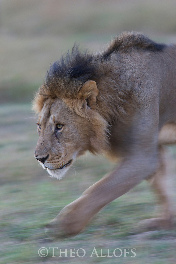 Male lion (Panthera leo) walking, motion blur, Maasai Mara, Kenya