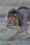 Male lion (Panthera leo) walking, motion blur, Maasai Mara, Kenya