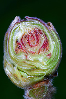 Haselnuss-Knospengallmilbe, Hasel-Gallmilbe, Haselgallmilbe, Haselnuss-Gallmilbe, Haselnussgallmilbe, Querschnitt durch die Knospengalle, Phytoptus avellanae, Eriophyes avellanae, Eriophyes coryligallarum, Phytocoptella avellanae, Phytoptus coryligallarum, Phytoptus pseudogallarum, Aculus comatus, acarine gall-mite, big bud galls