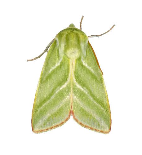 74.008 (2422)<br /> Green Silver-lines - Pseudoips prasinana