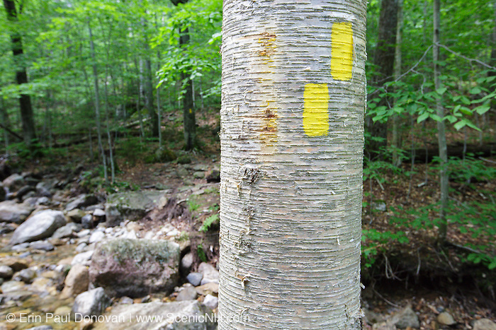 Blazing along the Mt Tecumseh Trail in Waterville Valley, New Hampshire. This tree was improperly blazed and in June of 2012, after an inspection of the trail by Forest Service, the non-conforming blazing (on left) was removed. This is how the tree looked after the blazing was removed.