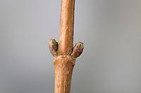 Feld-Ahorn, Feldahorn, Knospe, Knospen, Ahorn, Acer campestre, Field Maple, Hedge Maple, bug, bugs, Erable champêtre