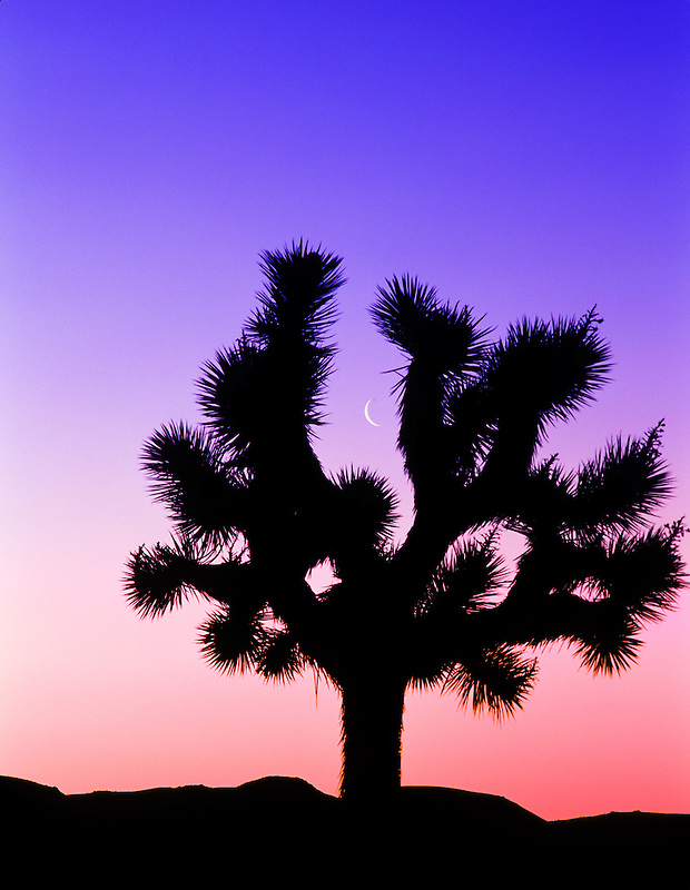 Joshua tree framing moon. at sunrise. Near Lone Pine, California