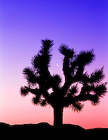 Joshua tree framing moon. at sunrise. Near Lone Pine, California
