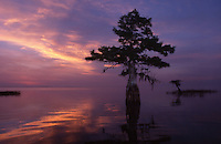 Cypress tree growing from water, Florida