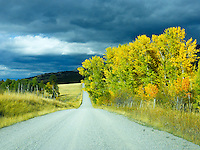 A typical country road in Montana in the fall. Dark clouds providing the perfect background for the changing colors of aspen and cottonwoods