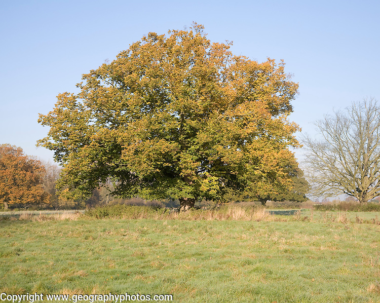 Common lime tree autumn leaf colours standing in field, Sutton, Suffolk, England